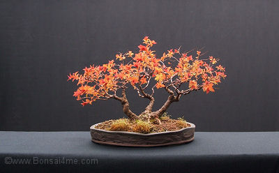 spiraea bonsai
